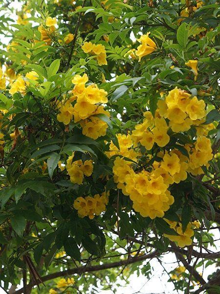Acem Borusu Çiçeği Fiyatları İçin Rüzgar Botanik'e Tıklayın!
